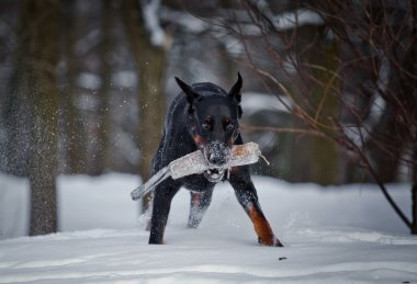 Doberman dog playing in the snow