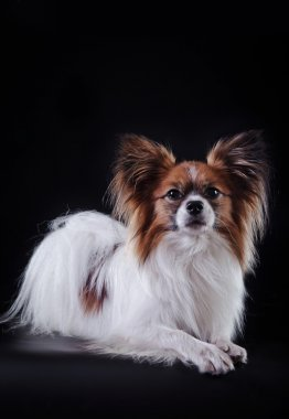 Papillon dog on a colored background