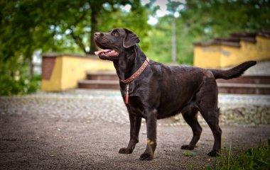 Dog labrador retriever on nature