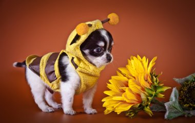 Chihuahua dog, puppy on a color background