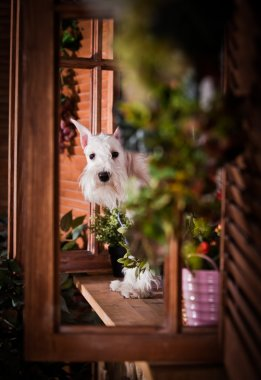 White miniature schnauzer dog