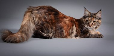 Maine coon cat on a colored background