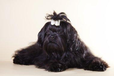Dog color Bichon