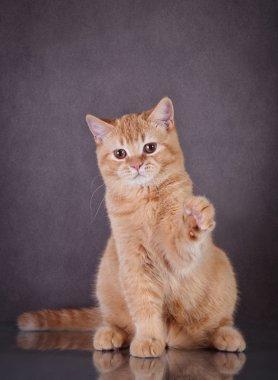 British red cat
