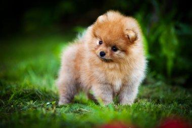 German Spitz, Dog breed Pomeranian