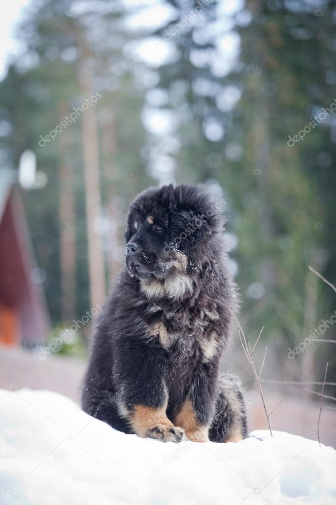 Puppy tibetan mastiff in winter, holiday, snow