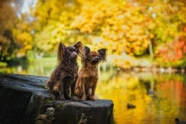 toy terrier dog in the autumn on the nature