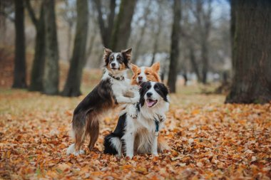 obedient dog breed border collie. Portrait, autumn, nature, tricks, training