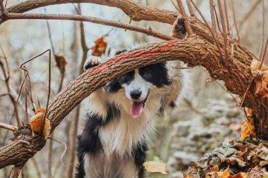 obedient dog breed border collie. Portrait, autumn, nature, tricks, training