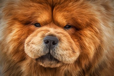 Drawing of the dog chow chow, red, portrait