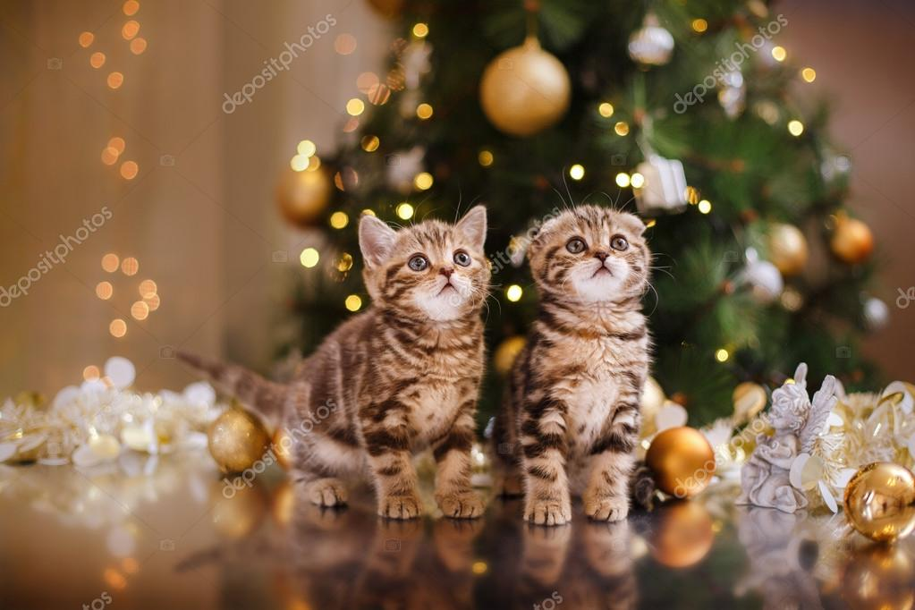Попкорн (общество, политика) - Том LXIII - Страница 64 Depositphotos_60475211-stock-photo-british-kitten-christmas-and-new