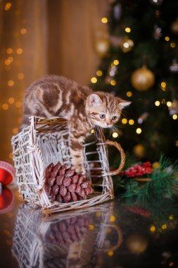 British kitten, Christmas and New Year