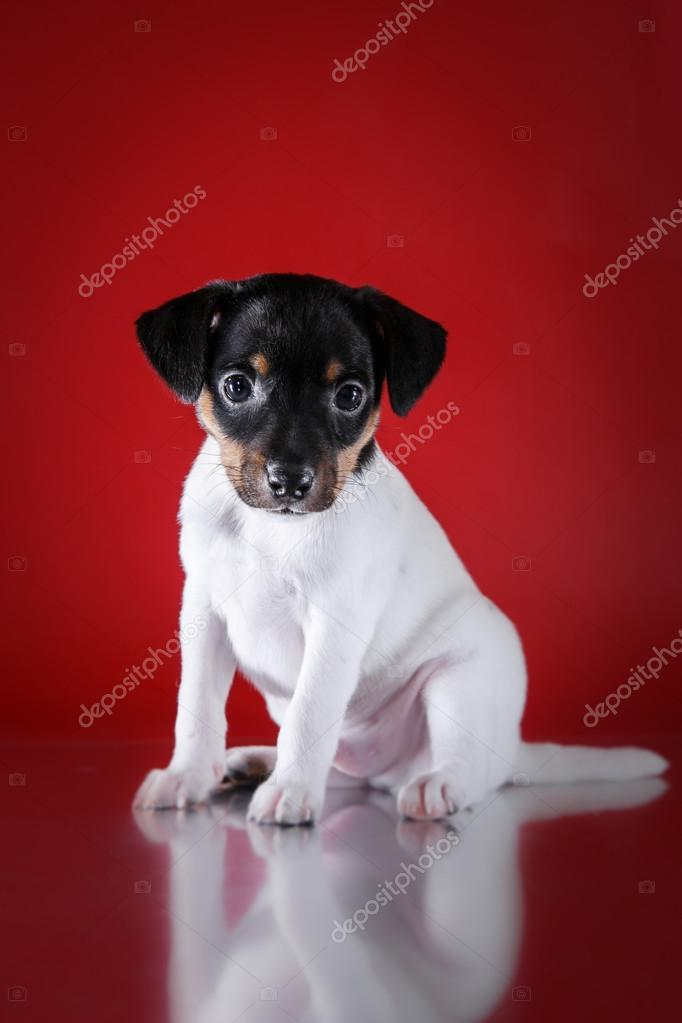 Dog breed Toy fox terrier puppy