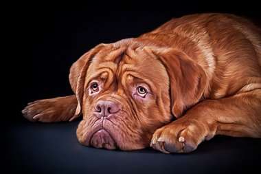 Drawing breed dog  Dogue de Bordeaux on a black background