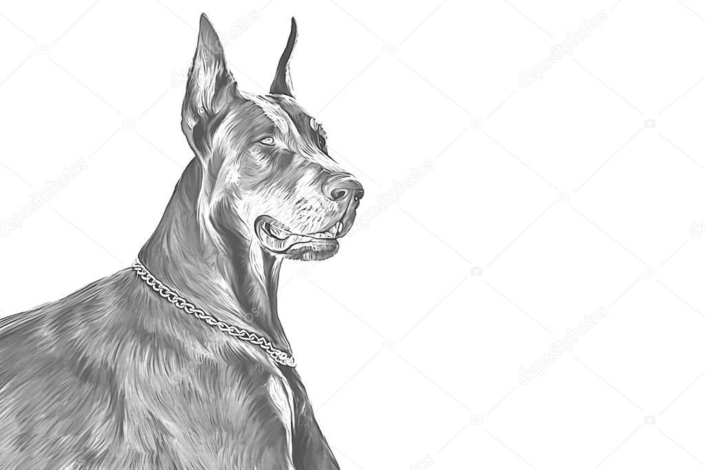 En haut Dessin chien Doberman, sur fond blanc — Photographie averyanova #IL_24