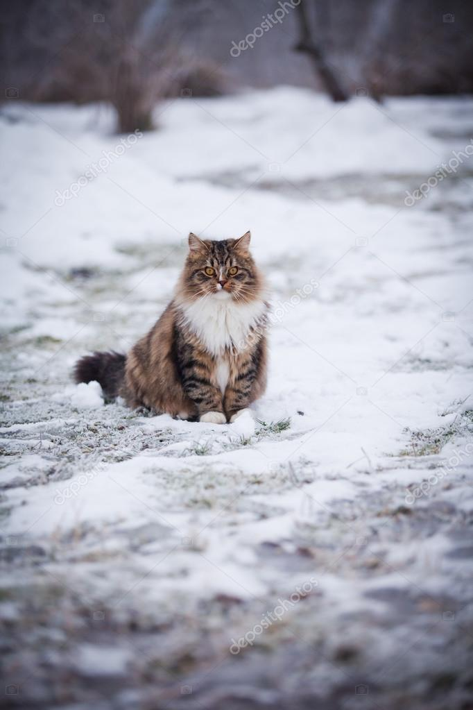 Striped fluffy cat on a winter walk