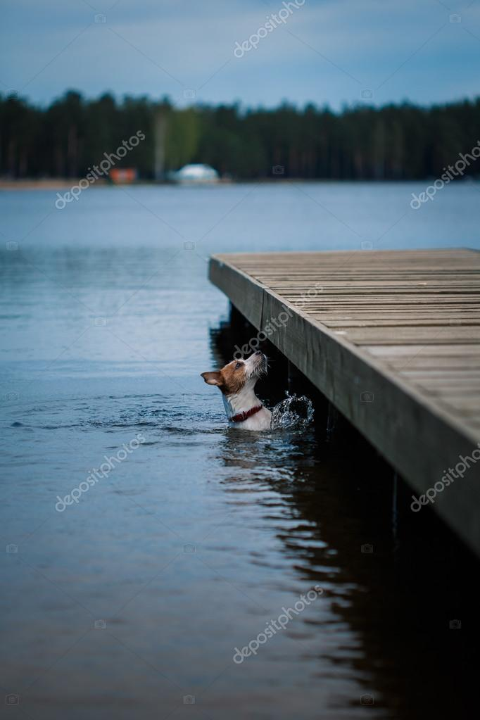 Jack Russell Terrier dog playing in water