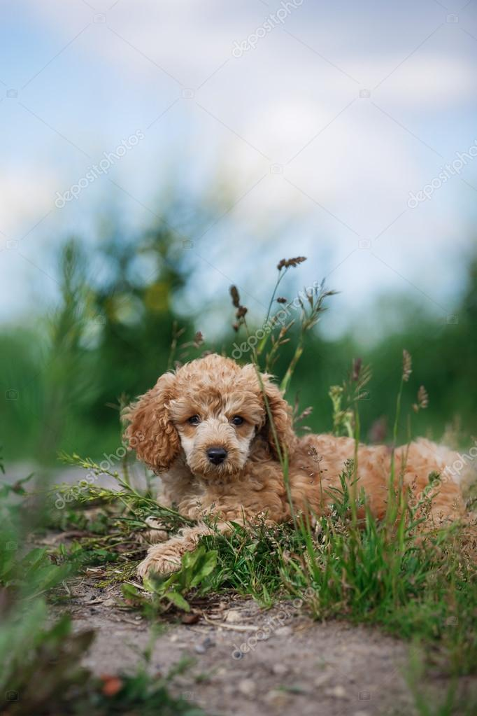 Red toy poodle puppy