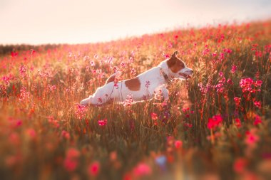 Dog in flowers Jack Russell Terrier