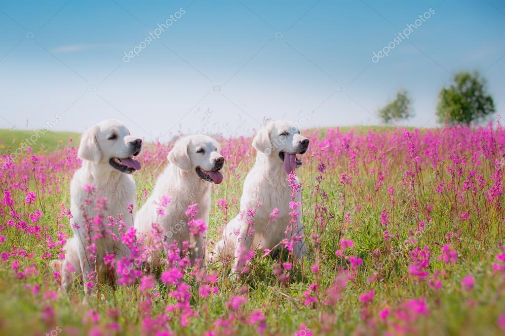 Dog Golden Retriever in flowers
