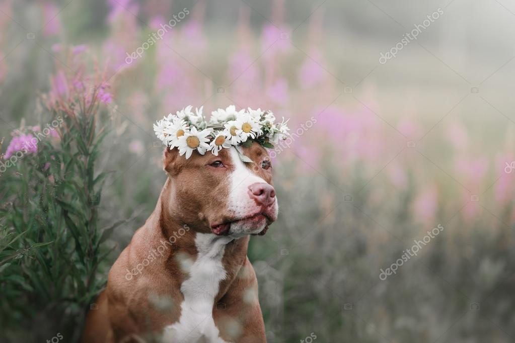cute pit bull dog  terrier with daisies