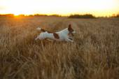 Jack Russell terrier in a field at sunset