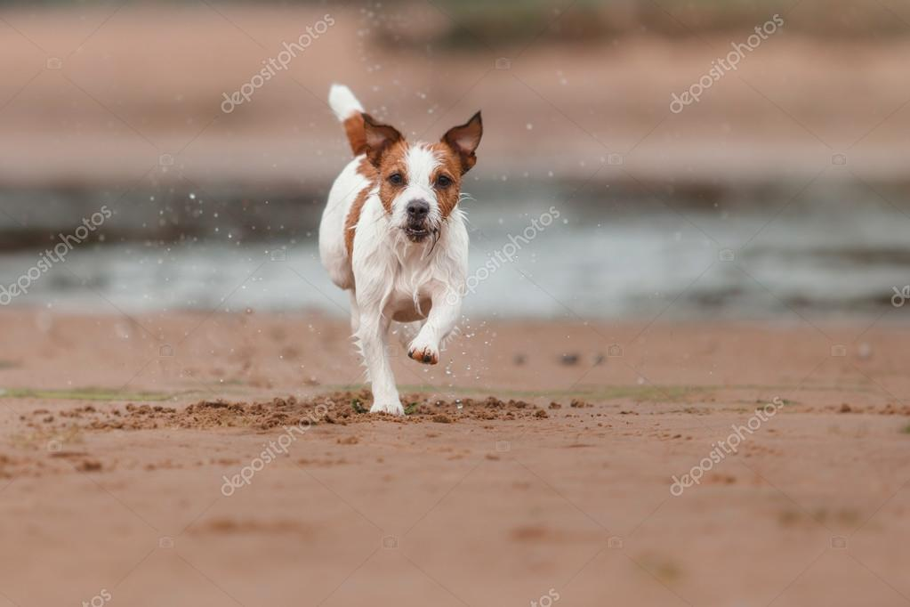 cheerful Jack Russell Terrier