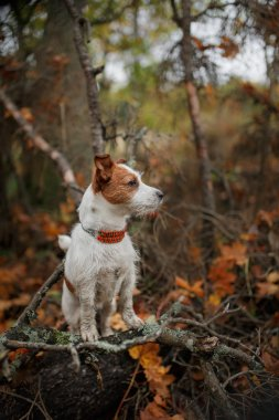 Dog breed Jack Russell Terrier