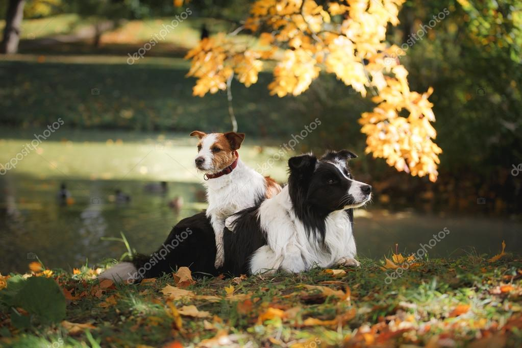 Dog breed Border Collie and Jack Russell Terrier