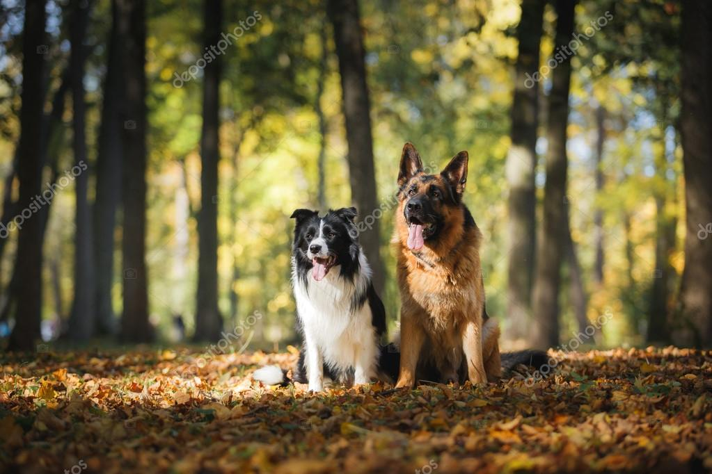 Dog breed Border Collie and German Shepherd