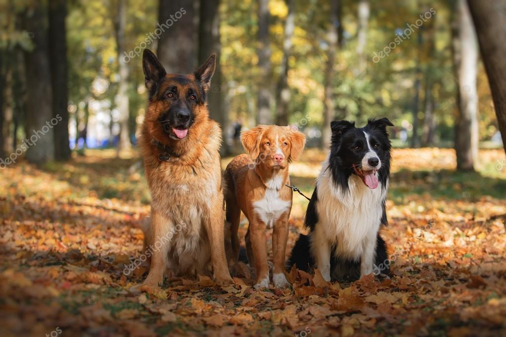 Dog breed Border Collie and German Shepherd and Nova Scotia Duck Tolling Retriever