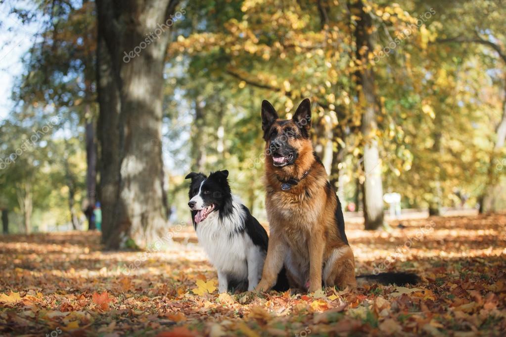Dog breed Border Collie and German Shepherd