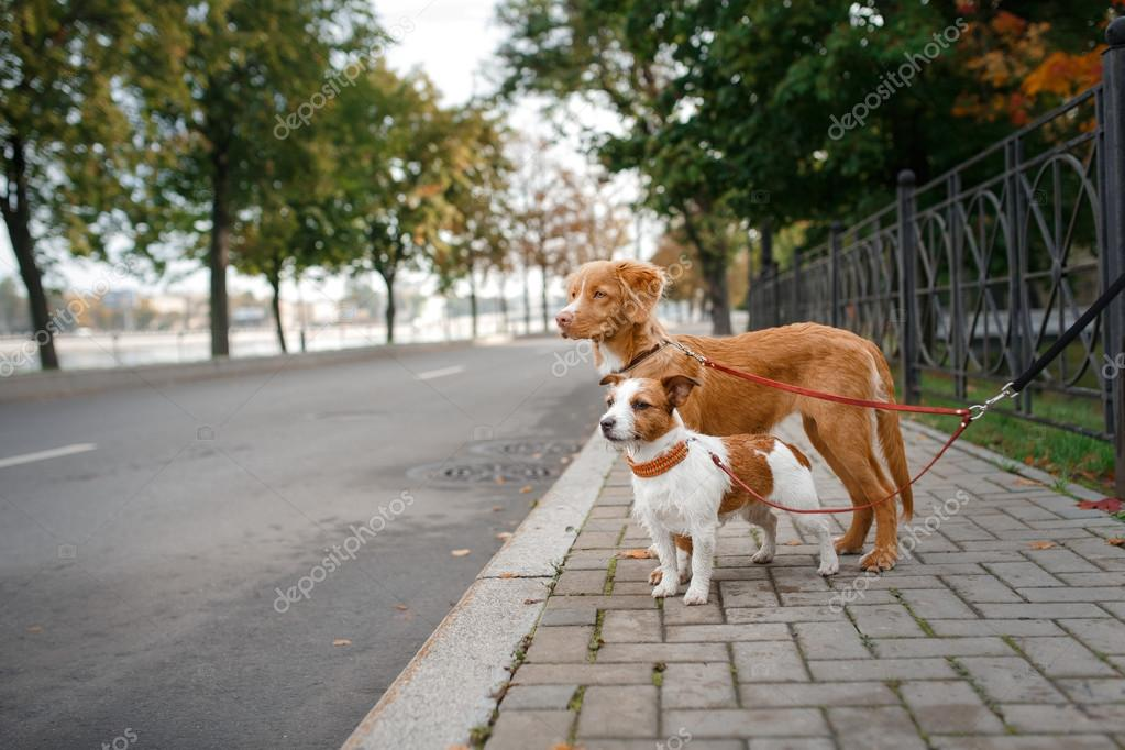Dog breed Nova Scotia Duck Tolling Retriever and Jack Russell Terrier