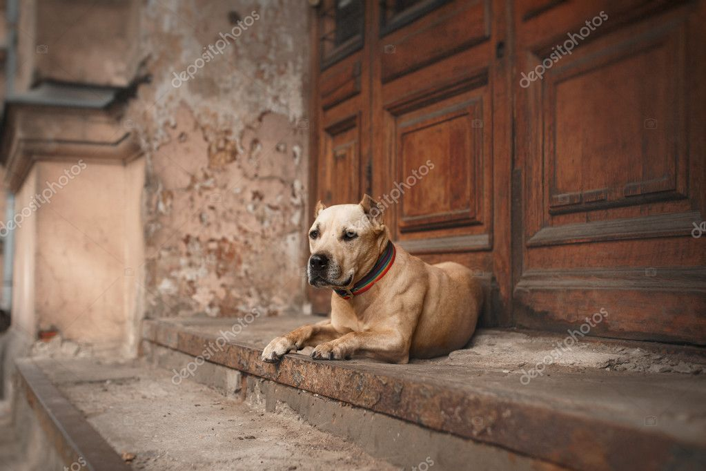 Dog breed American Staffordshire Terrier