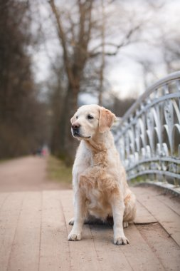 Dog breed Golden retriever