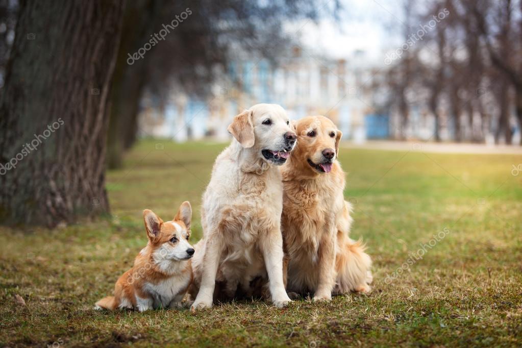 Dog breed Welsh Corgi Pembroke and Golden retriever