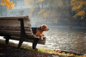 Dog Beagle walking in autumn park
