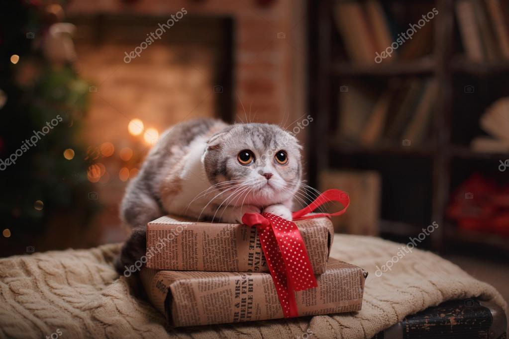 Gatto Di Razza Scottish Fold Natale E Capodanno Foto Stock