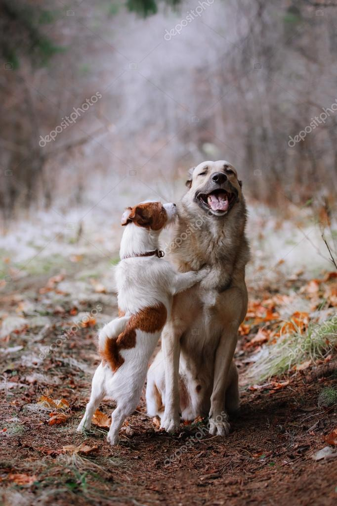 Dog breed Jack Russell Terrier and Mixed breed dog walking