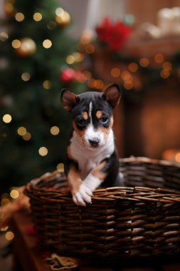 Puppy breed Basenji, Christmas and New Year