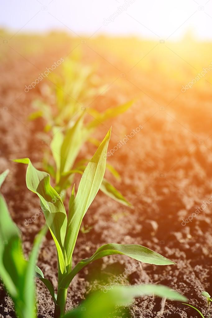 Young corn seedling grows