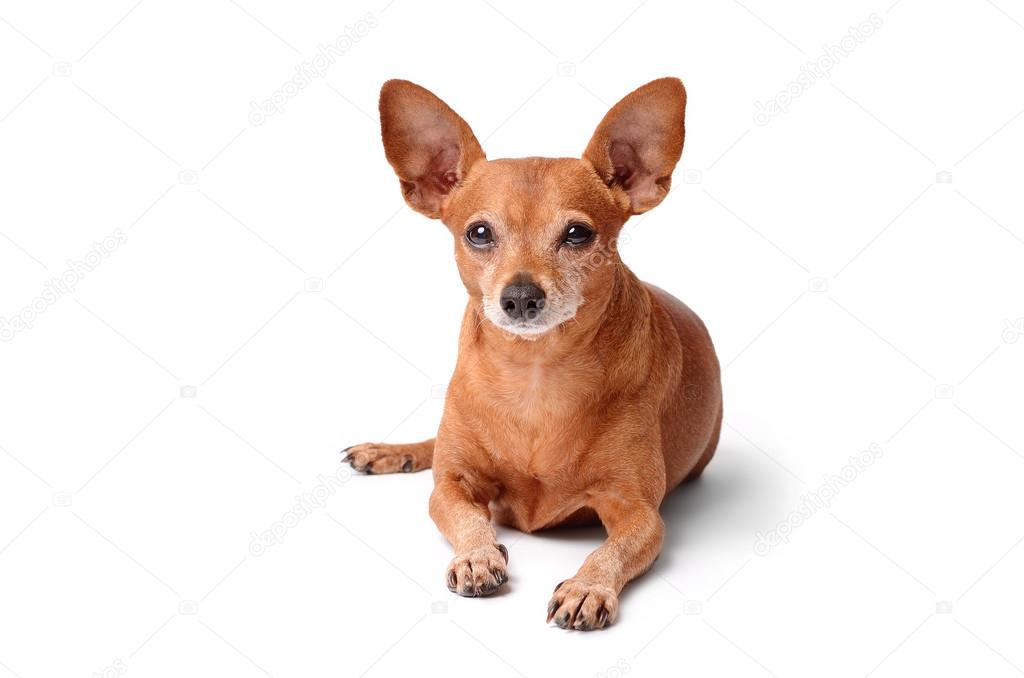 Miniature pinscher isolated on a white
