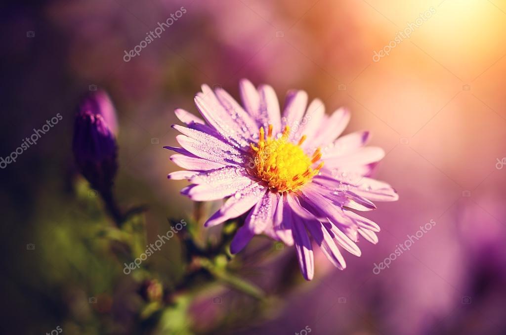 Flores Hermosas Flores Silvestres Fondos De Pantalla Gratis: Hermosas Flores Silvestres Púrpura En Una Mañana De