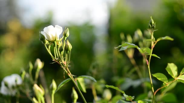 White Rose Flowers Blowing In The Wind Stock Video Fbxx 109658358