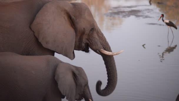 zwei afrikanische Elefanten, Erwachsene und Babys, trinken Wasser aus dem Fluss. Seitenansicht, Nahaufnahme.