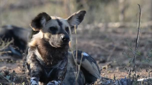 Close up and portrait of a cute Wild Dog. Wildlife Safari in Africa.