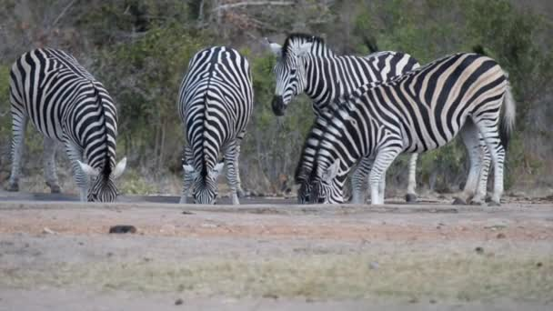 Herd of Zebras drinking from waterhole. Wildlife Safari in the Kruger National Park, major travel destination in South Africa.