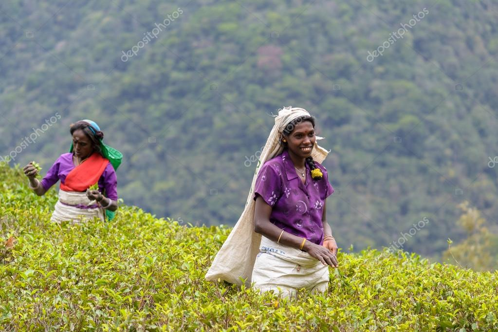 Tamil women working manually in tea plantation