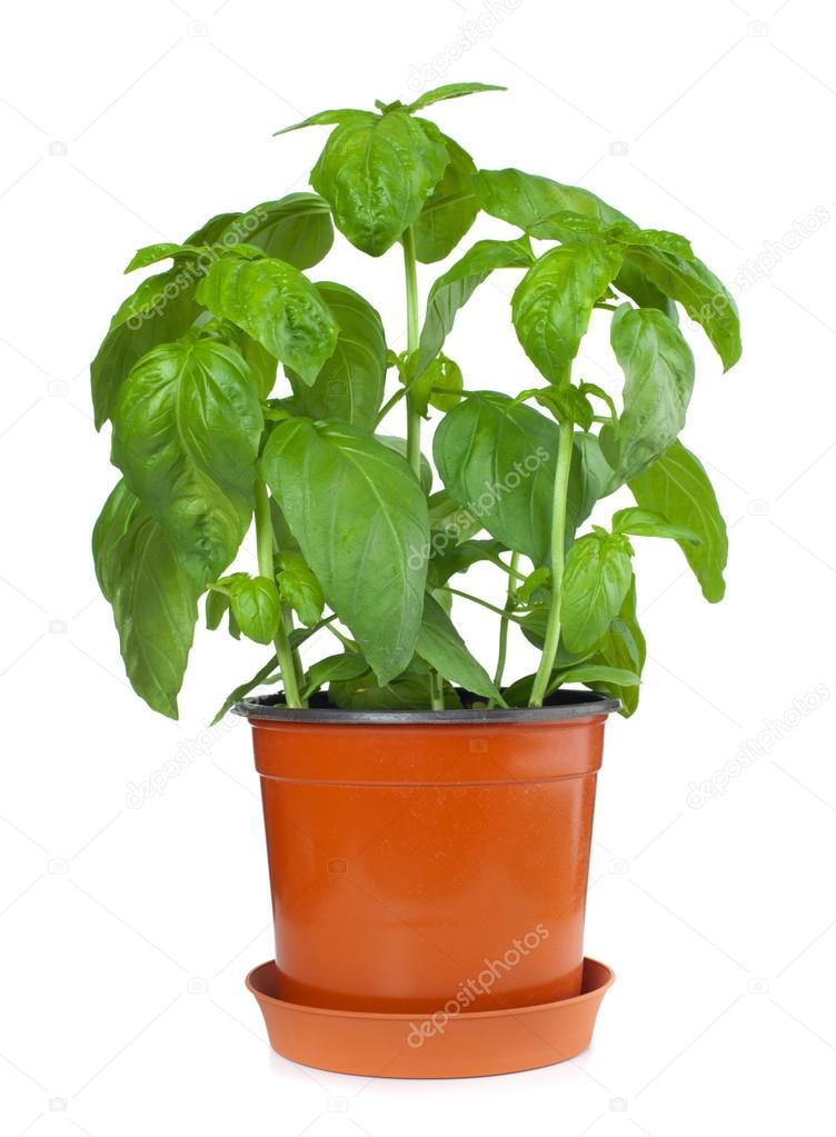 Albahaca planta en maceta foto de stock - Plantar en maceta ...