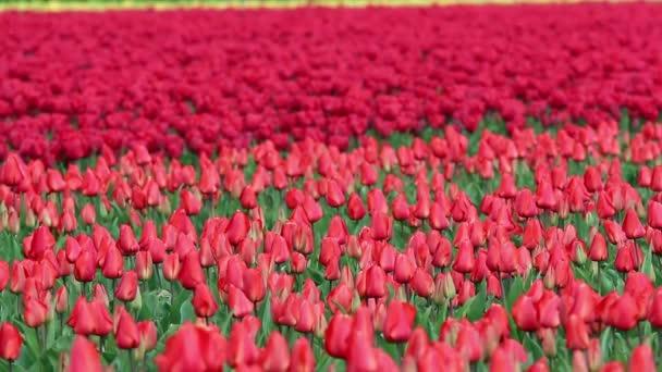Red Tulip Fields in Spring Bloom